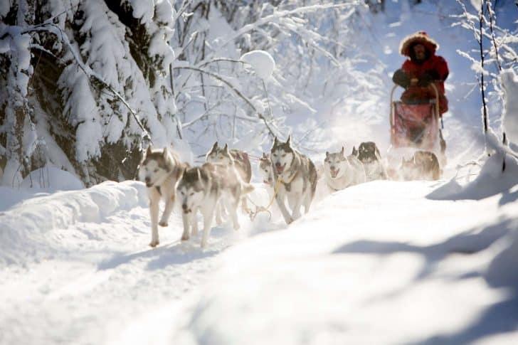 chien de traîneau en Laponie Suédoise