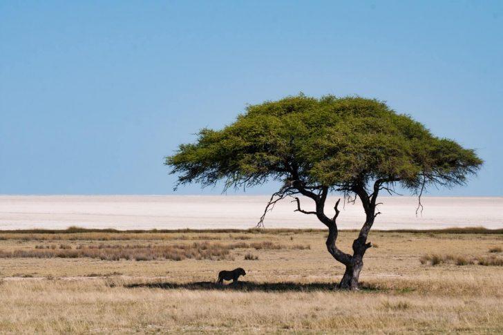 lion en namibie